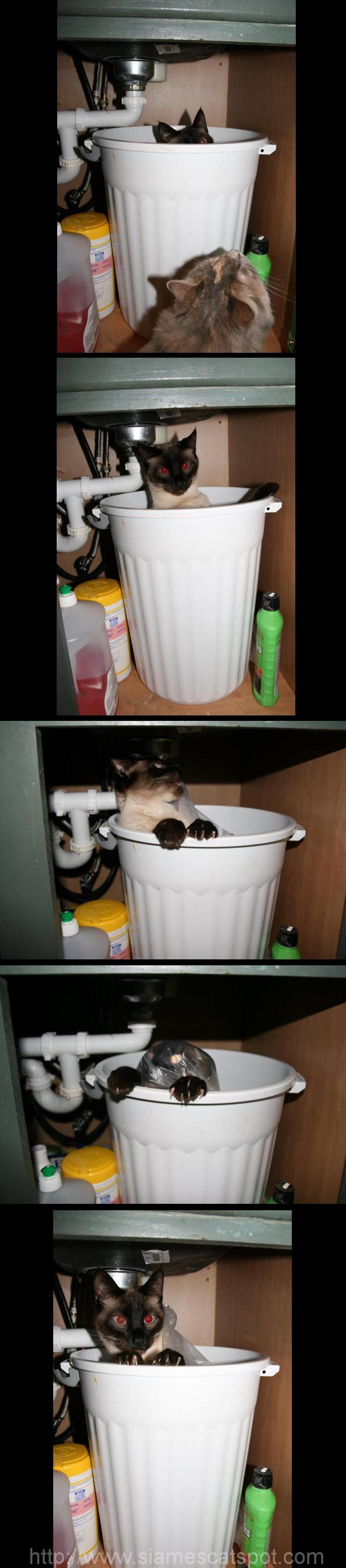 Gremlin | Siamese Cat Spot
