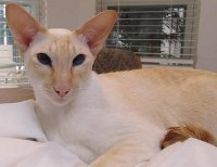 Flame Red Point Siamese Cats