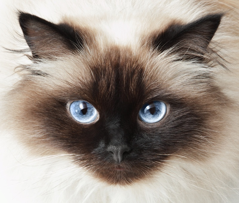 Himalayan cat red eyes