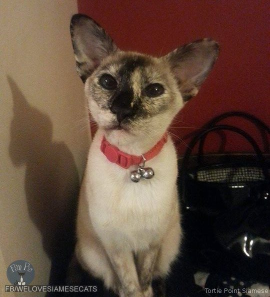 Tortie Point Siamese Cat