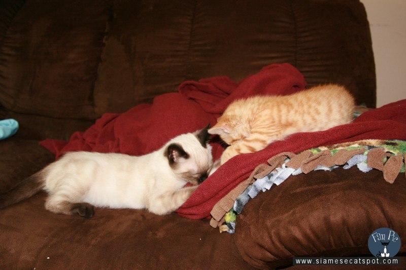 Siamese Kitten Wool Sucking