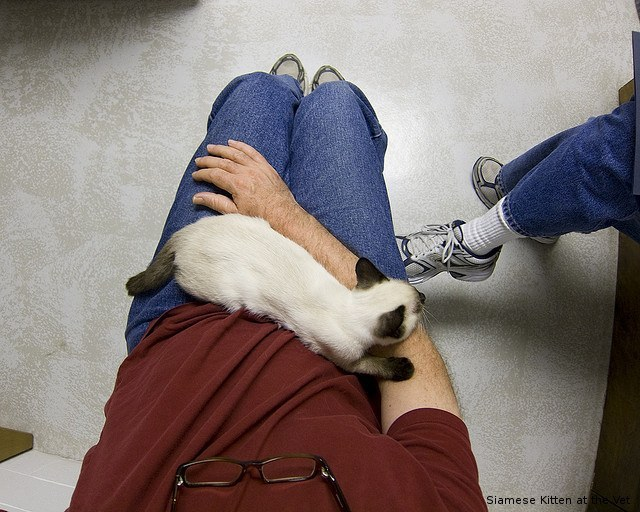 Siamese Kitten at the Vet