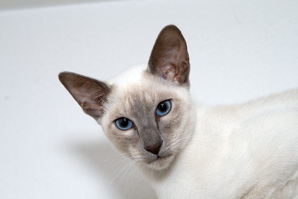 Lilac Point Siamese Cats