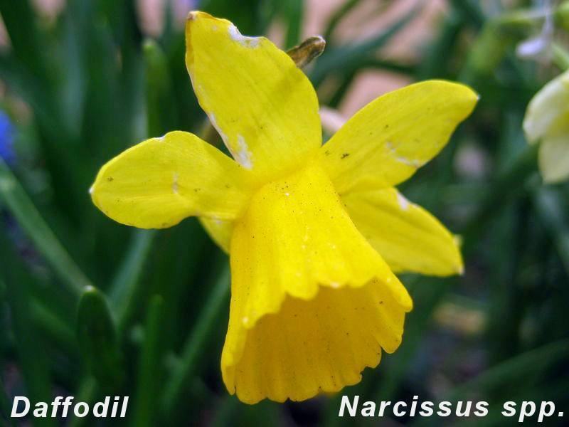 Narcissus (Little Gem cultivar), Capitol Hill, Denver, Colorado