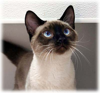 Cleanest Cat Breeds