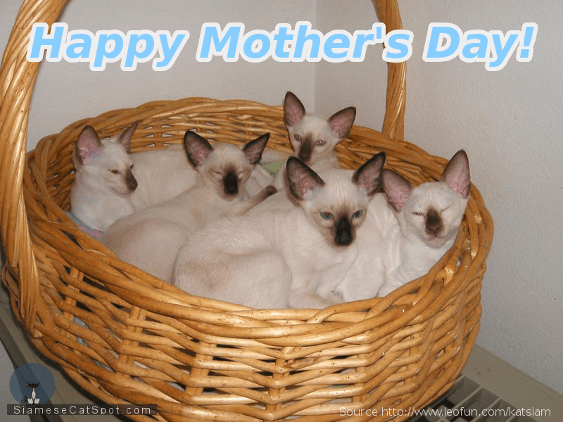 Siamese Kittens | Happy Mother's Day, UK!