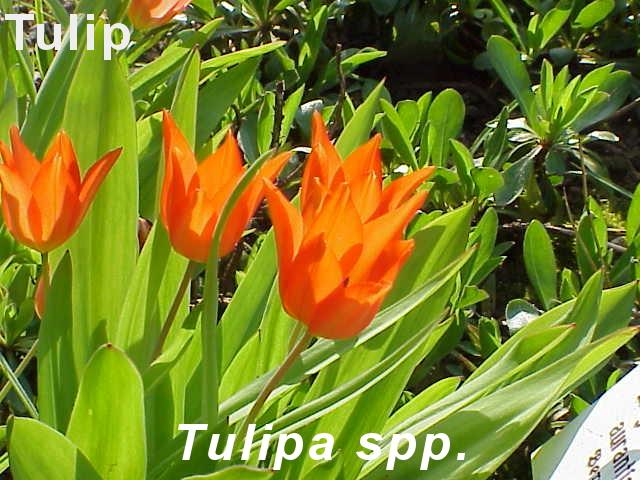 Tulipa praestans1