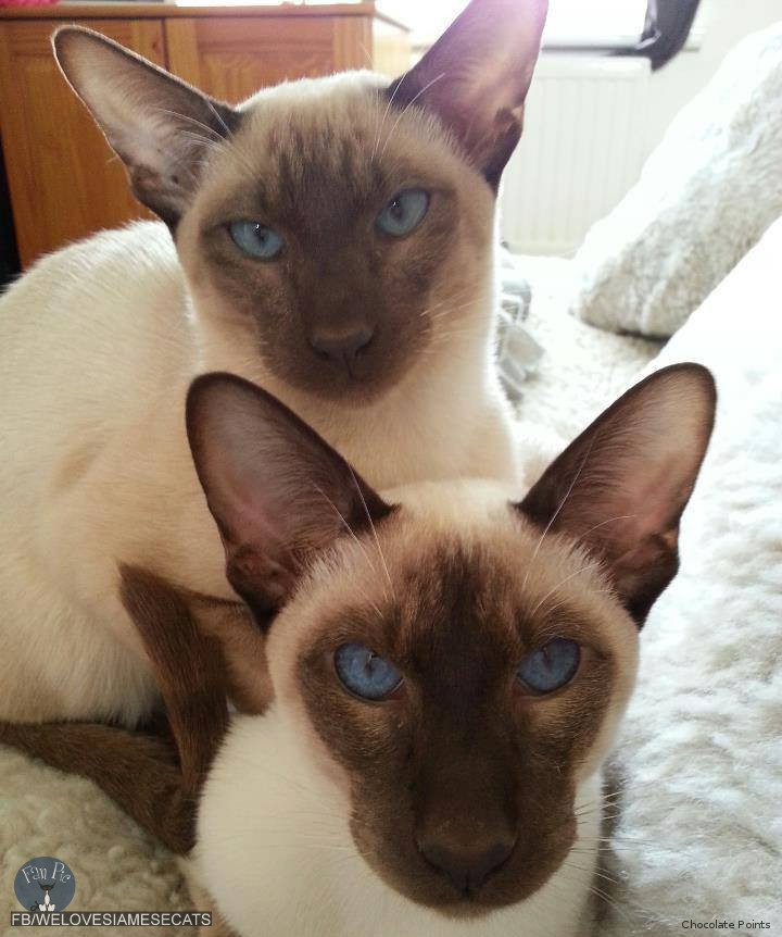 siamese cat spot for the love of siamese cats