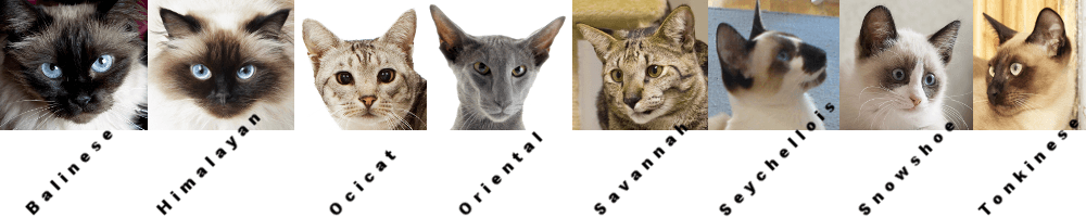 Breeds Related to the Siamese Cat