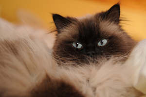 Himalayan Cats Are Gorgeous!