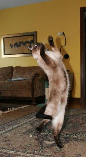 Hooray! SIamese Cat Spot