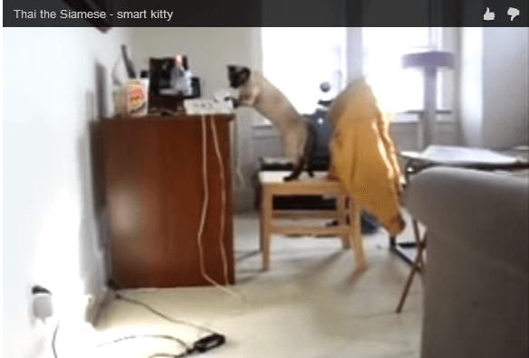 Siamese Cat Answers Phone
