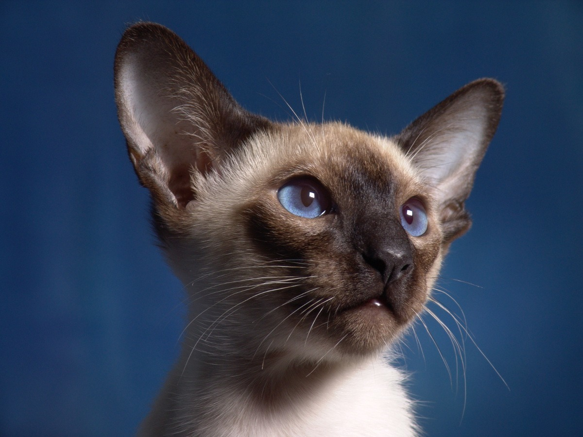 to Adopt a Siamese Cat
